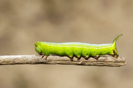 Image of Green Caterpillars of Moth on the branches on a natural background. Insect. Animal. Фото со стока