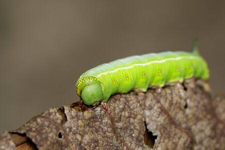 Bild der grünen Raupen der Motte auf trockenen Blättern auf einem natürlichen Hintergrund. Insekt. Tier. Standard-Bild