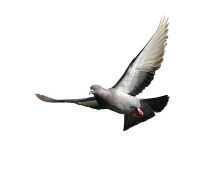 Image of pigeon flying isolated on white background., Bird,  Animals.