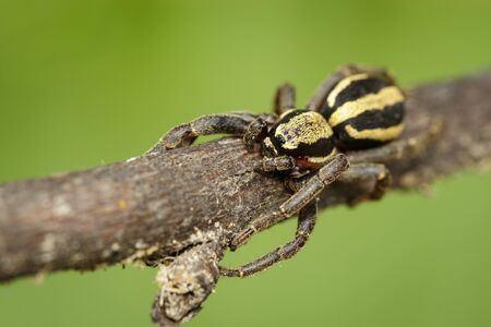 Image of gray wall jumper spider male (Menemerus bivittatus) on a brown tree branch.