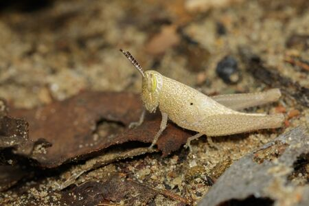 Image of baby brown grasshopper on the floor.