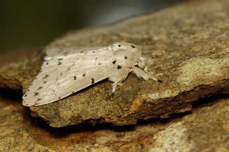 Image of Moth Butterfly (Lymantria cf. marginalis) on tree. Banco de Imagens