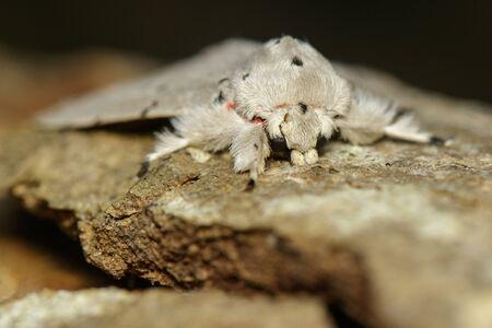 Image of Moth Butterfly (Lymantria cf. marginalis) on tree
