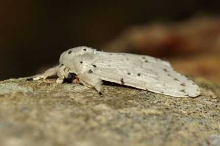 Image of Moth Butterfly (Lymantria cf. marginalis) on tree. Stok Fotoğraf