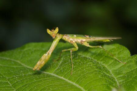Image of flower mantis(Creobroter gemmatus) on green leaves.