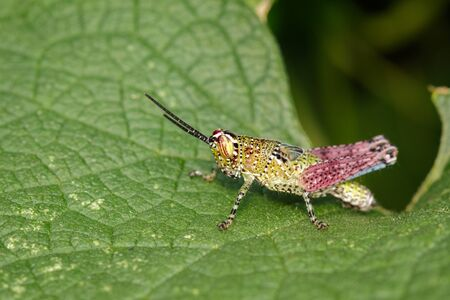 Image of grasshopper on the green leaf.
