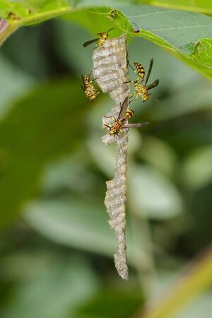 Image of an Apache Wasp (Polistes apachus) and wasp nest on nature background. Insect. Animal Stok Fotoğraf