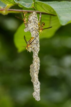 Image of an Apache Wasp (Polistes apachus) and wasp nest on nature