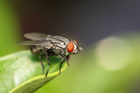 Image of a flies (Diptera) on green leaves.