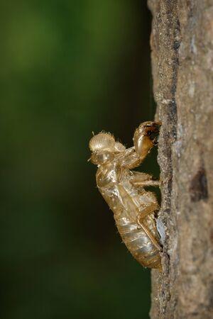 Image of cicada molting on tree
