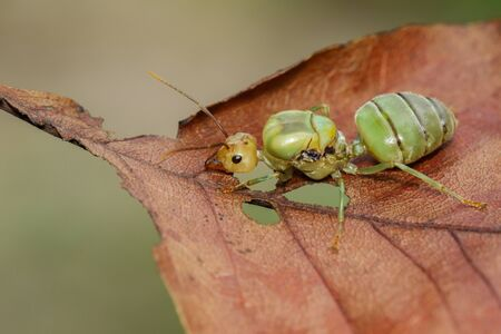 Image of the queen of ants on brown leaf.