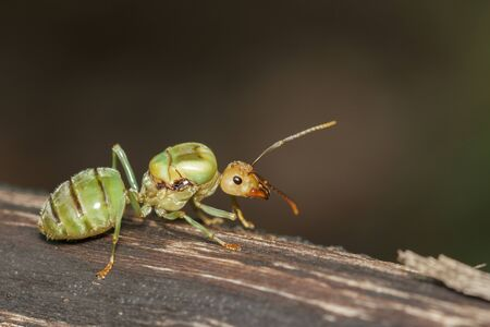 Image of the queen of ants on tree.