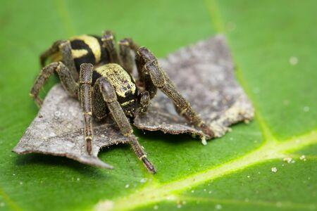 Image of gray wall jumper spider male (Menemerus bivittatus) on the green leaf. Stok Fotoğraf