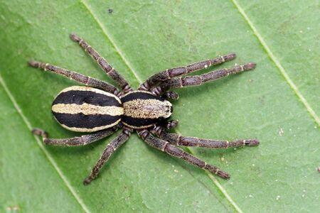 Image of gray wall jumper spider male (Menemerus bivittatus) on the green leaf. Banco de Imagens