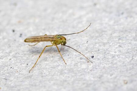 Image of a chironomids or non-biting midges on a white