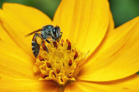 Image of bee or honeybee on yellow flower collects nectar.