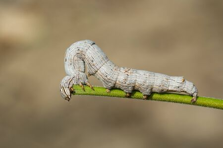 Image of brown caterpillar butterfly on the branches on a natural