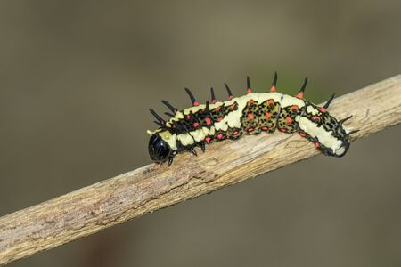 Image of caterpillars of common mime on the branches on a natural