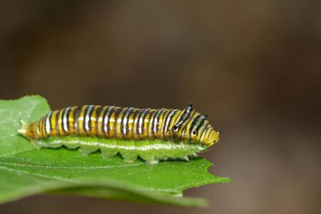 Image of Spot Swordtail Caterpillar brown morph(Graphium nomius) on green leaves on a natural