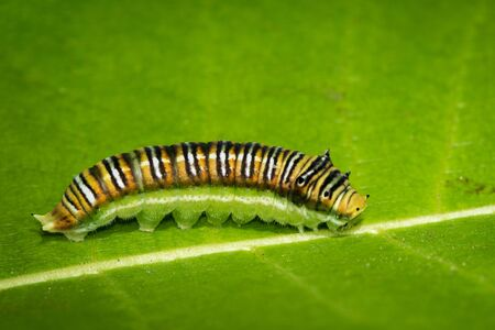 Image of Spot Swordtail Caterpillar brown morph (Graphium nomius) on green leaves on a natural