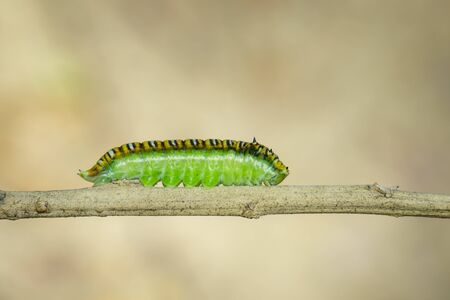 Image of Spot Swordtail Caterpillar brown morph (Graphium nomius) on the branches on a natural