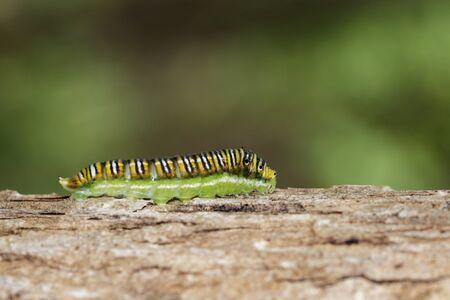Image of Spot Swordtail Caterpillar brown morph (Graphium nomius) on tree on a natural Stok Fotoğraf
