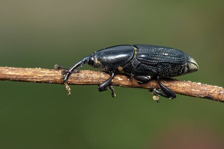 Image of banana root borer (Cosmopolites sordidus) on the branches on a natural Banco de Imagens