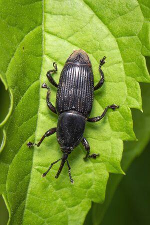 Image of banana root borer beetle (Cosmopolites sordidus) on green leaves on a natural Banco de Imagens