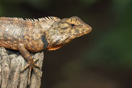 Image of brown chameleon on the stumps on the natural