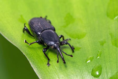 Image of banana root borer beetle (Cosmopolites sordidus) on green leaves on a natural Stok Fotoğraf