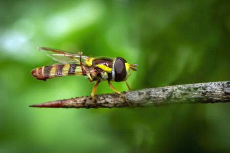 Image of Hoverfly or flower fly, or syrphid fly(Syrphidae) on the branches on a natural