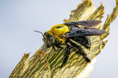 Image of Yellow Carpenter Bee (Xylocopa latipes) on the branches on a natural Stok Fotoğraf