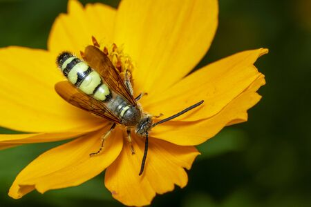 Image of Beewolf or Beewolves(Philanthus) on yellow flower on a natural Stok Fotoğraf
