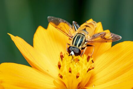 Image of flower fly or hoverfly (Helophilus insignis) on yellow flower pollen suck nectar on a natural