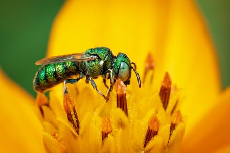 Image of cuckoo wasp (Chrysididae) on yellow flower pollen collects nectar on a natural