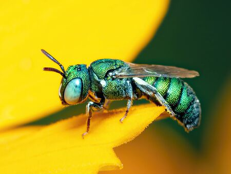 Image of cuckoo wasp (Chrysididae) on yellow flower on a natural Stok Fotoğraf