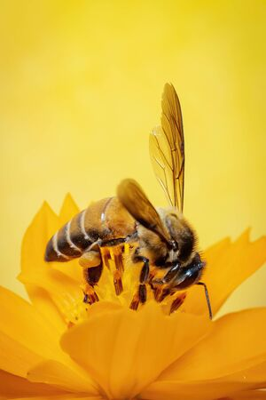 Image of little bee or dwarf bee(Apis florea) on yellow flower collects nectar with space blur  for text. Stok Fotoğraf