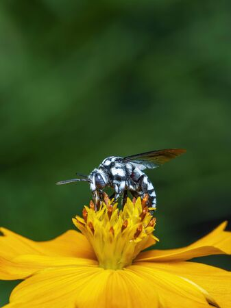 Image of neon cuckoo bee (Thyreus nitidulus) on yellow flower pollen collects nectar on a natural