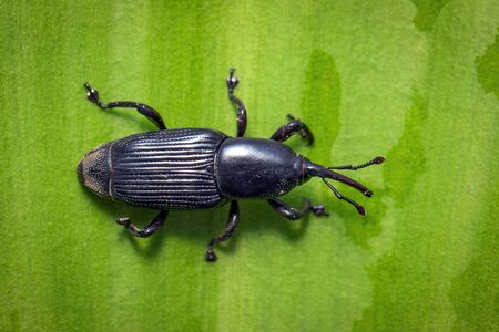 Image of banana root borer beetle (Cosmopolites sordidus) on green leaves on a natural Stockfoto