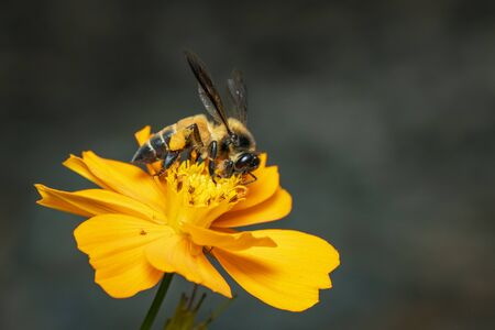 Image of giant honey bee(Apis dorsata) on yellow flower collects nectar on a natural