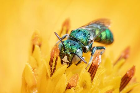 Image of Ceratina (Pithitis) smaragdula on yellow flower pollen collects nectar on a natural