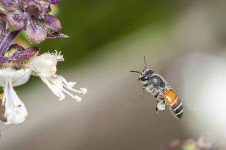 Image of little bee or dwarf bee(Apis florea) is going to suck nectar on the pollen on the natural