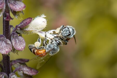 Image of little bee or dwarf bee(Apis florea) sucking nectar on the flower pollen on the natural