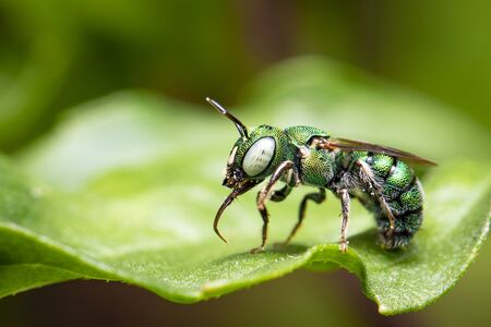 Image of Ceratina (Pithitis) smaragdula on green leaf on a natural