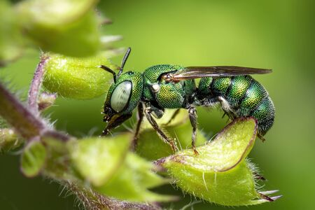 Image of Ceratina (Pithitis) smaragdula on green leaf on a natural