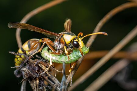 Image of paper wasp was eating the worm victim. on a natural Stockfoto
