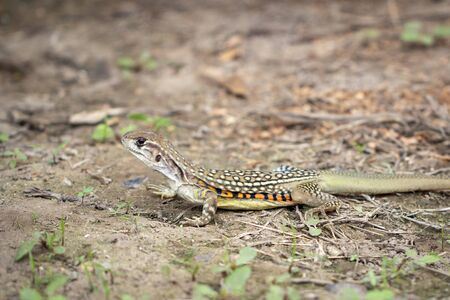 Image of Butterfly lizards or Small-scaled lizards