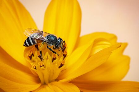 Image of little bee or dwarf bee (Apis florea) on yellow flower collects nectar on a natural Stockfoto