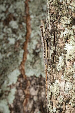 Image of camouflage lizard (hemidactylus platyurus) on tree.