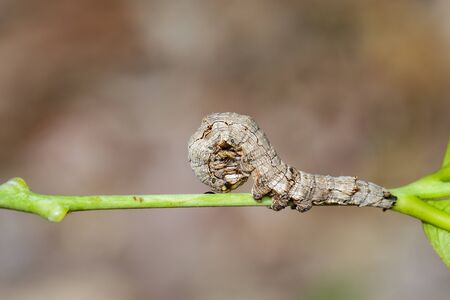 Image of brown caterpillars on the branches on a natural